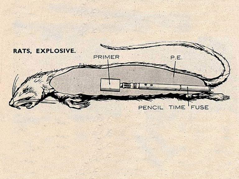 Des rats explosifs inventés par les services secrets britanniques en 1941