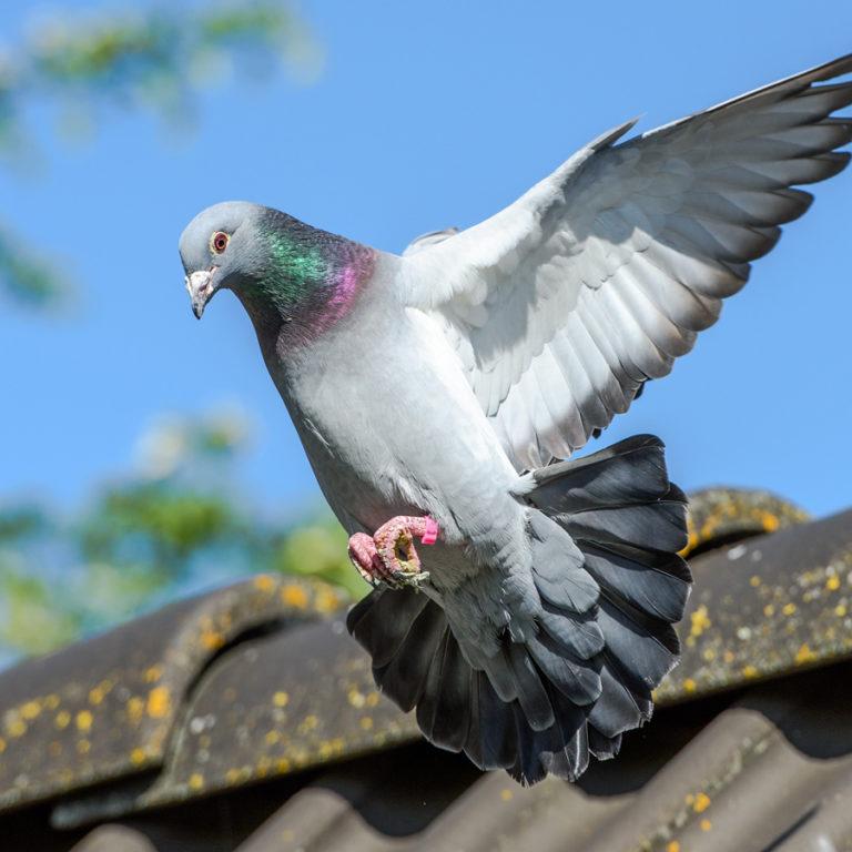 Un pigeon voyageur vendu plus de 1,25 million d'euros lors d'une vente aux enchères