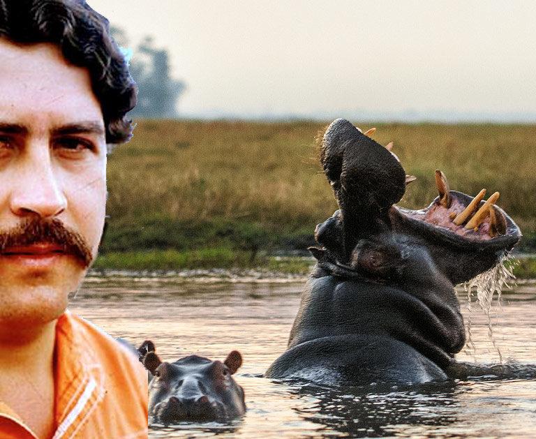 Les hippos de Pablo Escobar : toujours en cavale !